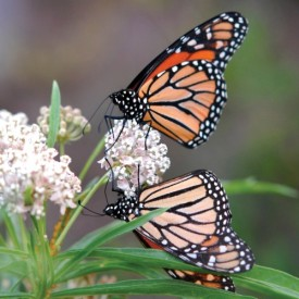 butterfly6-500x500