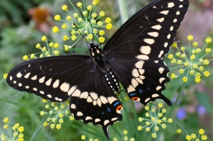 male-black-swallowtail