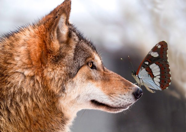 wolf__n_butterfly_by_phachubo-d4syfx5