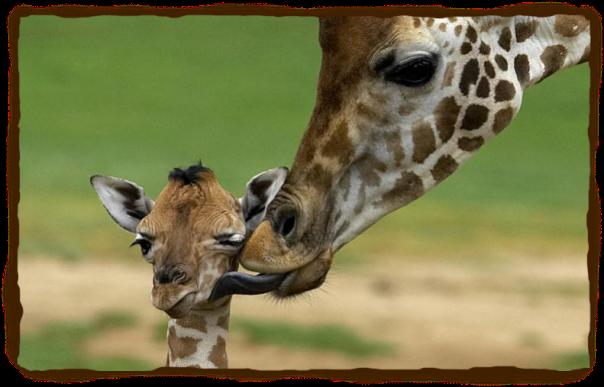 giraffe4.jpg